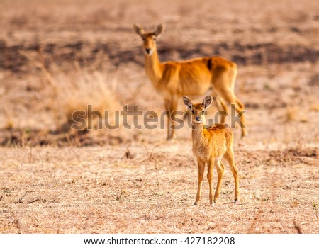 Baby antelope with its mother in the background - stock photo
