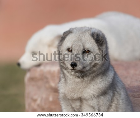 Baby Arctic fox (Vulpes lagopus) with second fox in background - stock photo