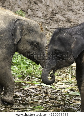 Baby Asian Elephants (Elephas maximus) at play in the jungle.  Coloration can vary significantly from black to reddish brown.