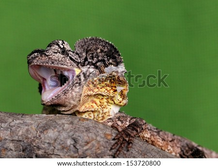 Baby Australian frilled neck lizard