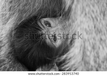 Baby baboon hiding in the body of mother for safety - stock photo