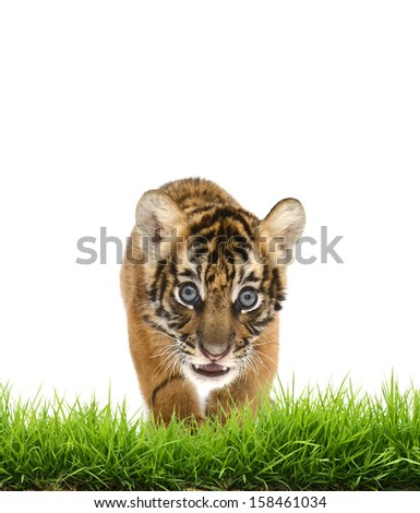 baby bangal tiger with green grass isolated on white background