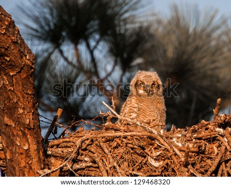 Baby bard owl in next at sunset - stock photo