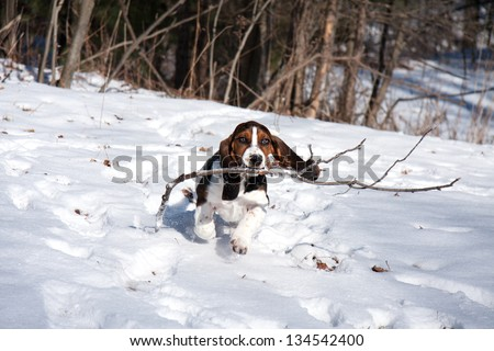 baby basset hound puppy fetching a stick in snow on a sunny day - stock photo