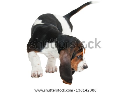 baby basset hound puppy walking with head down isolated on white background - stock photo