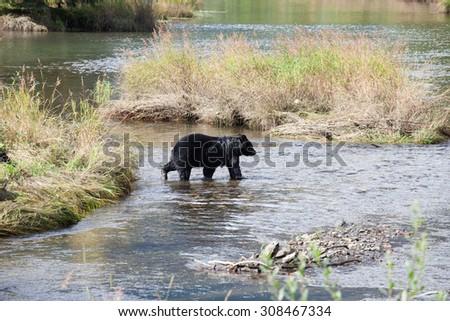 Baby bear cub walking in a river - stock photo
