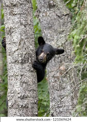 Baby Bear in Tree - stock photo