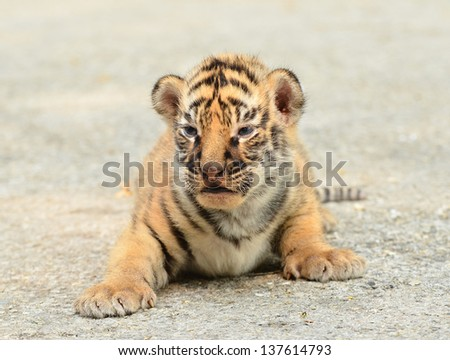 baby bengal tiger in zoo