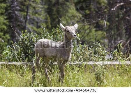 Baby Bighorn sheep in Banff National Park, Alberta, Canada - stock photo
