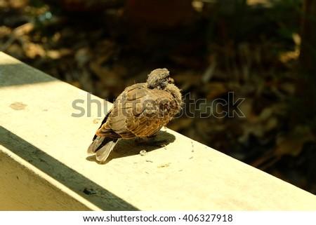 Baby bird, Little young bird. Pigeon, Doves - stock photo