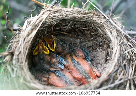 Baby birds in the nature. Nature series. - stock photo