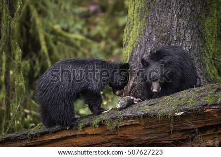 Baby black bears feed on freshly caught spawning salmon on a river in British Columbia's Vancouver Island old growth rainforest.