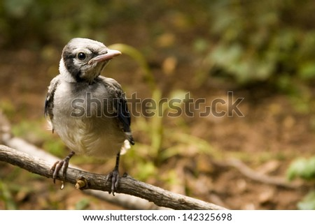 Baby Blue Jay bird perched on a branch after learning to fly  - stock photo