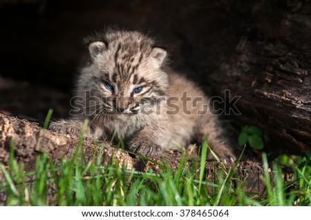 Baby Bobcat Kit (Lynx rufus) Fierce Stare - captive animal - stock photo
