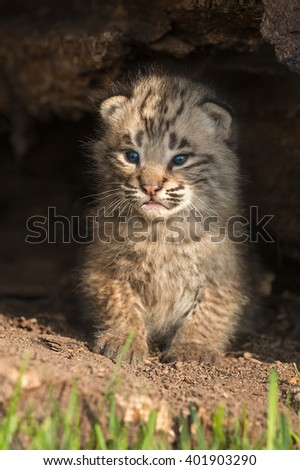Baby Bobcat Kitten (Lynx rufus) Sits Up Inside Log - captive animal - stock photo