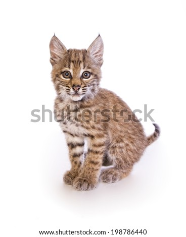 baby bobcat kitten sitting with tail out isolated on white background