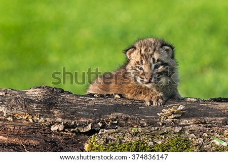 Baby Bobcat (Lynx rufus) Stares Out from Log - captive animal