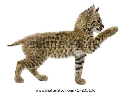 Baby bobcat reaching out, isolated on a white background - stock photo