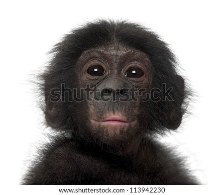 Baby bonobo, Pan paniscus, 4 months old, against white background - stock photo
