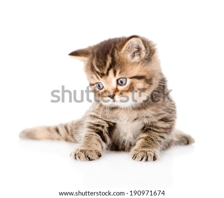baby british tabby kitten looking away. isolated on white background - stock photo