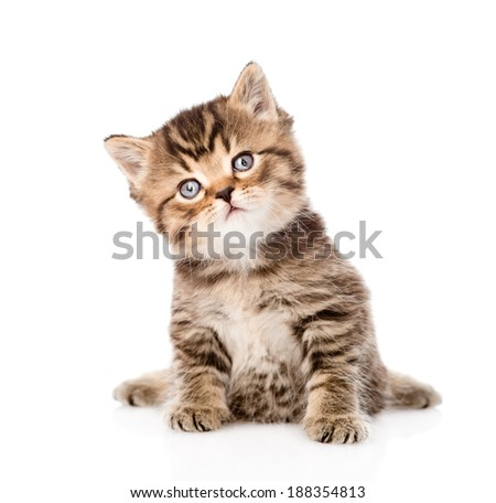 baby british tabby kitten sitting in front. isolated on white ba