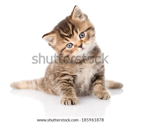baby british tabby kitten sitting in front. isolated on white background - stock photo