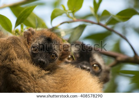 Baby brown lemur and his mother. - stock photo