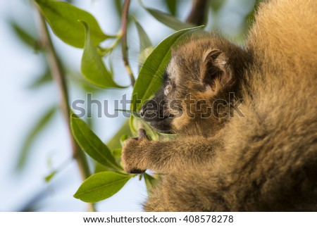 Baby brown lemur portrait in profile.  - stock photo