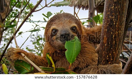 Baby Brown throated Three toed sloth in the mangrove, Caribbean,  Costa Rica - stock photo