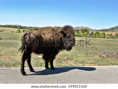 Baby buffalo on the Oklahoma roadside. - stock photo