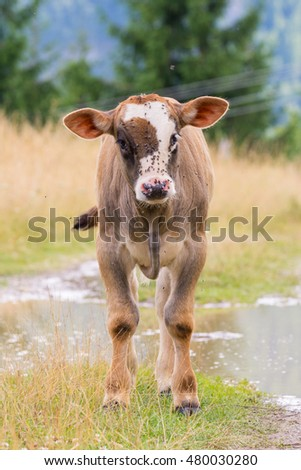 Baby bull on a mountain pasture looking at the camera