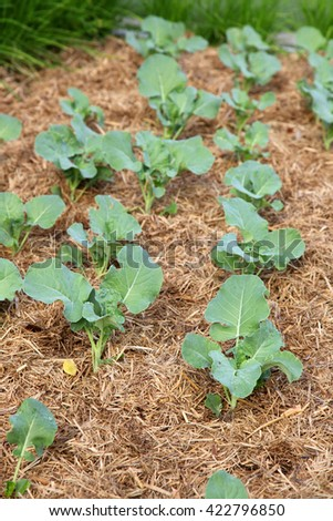 Baby cabbage seedling plants in straw and soil - stock photo