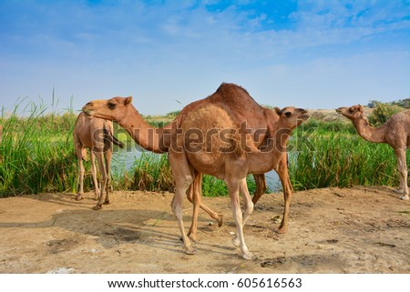 baby camel and mother on desert lake shore