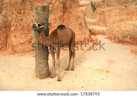 Baby Camel , Tunisia - stock photo