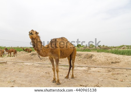 Baby camel wandering around the ruins at the ancient city of antiquity, Merv, Turkmenistan