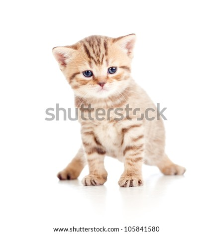 baby cat Scottish kitten isolated on white background - stock photo