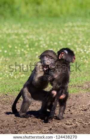 Baby chacma baboons playing rough and tumble in green grass - stock photo