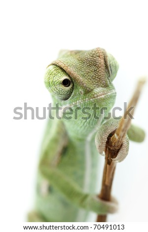 Baby chameleon looking from branch, macro focused on eyes - stock photo