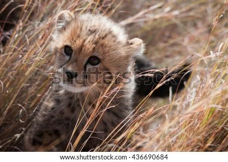 Baby cheetah cub hiding in tall grass - stock photo