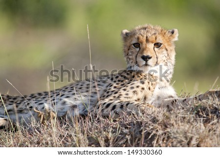 Baby Cheetah looking at camera - stock photo