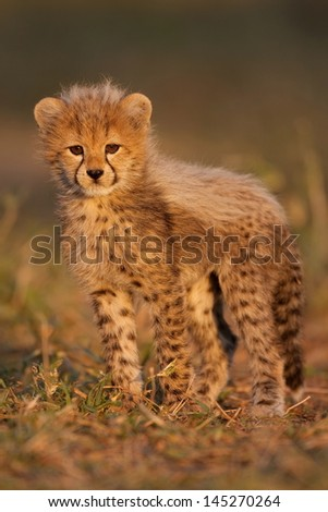 Baby Cheetah on plains - stock photo