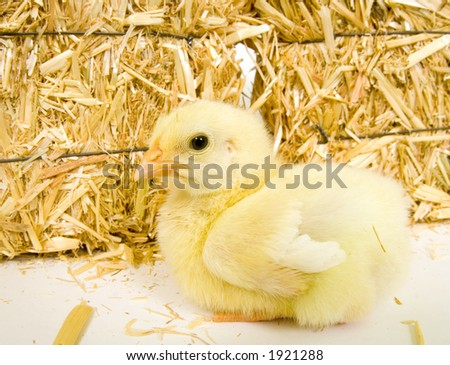 Baby chick and bale of hay 2