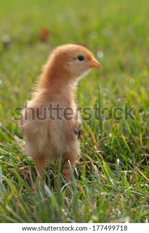 Baby chick red and orange looking to the right - stock photo