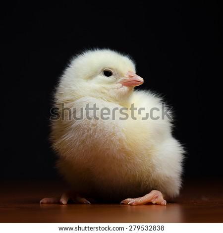 Baby chicken  - stock photo