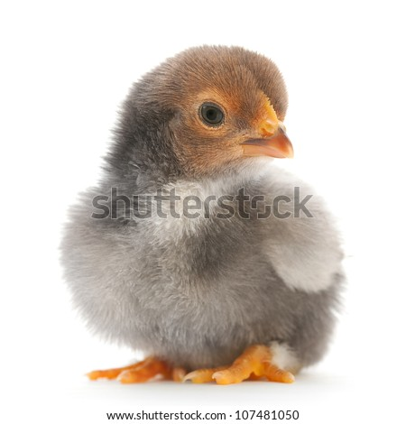 Baby chicken closeup isolated on white - stock photo