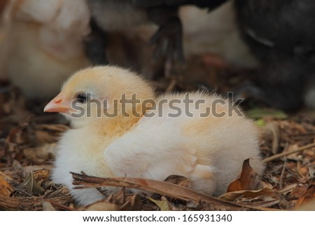 baby chicken in natural rural australia backyard copp setting