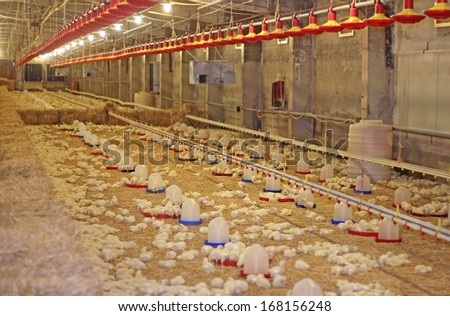 Baby chicken on chicken farm, poultry production - stock photo