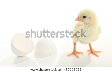 Baby Chicken with shell
