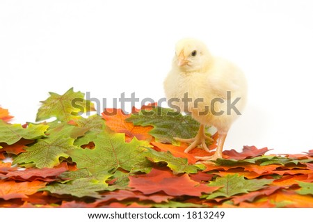 Baby chickens in a pile of fall leaves (artificial)