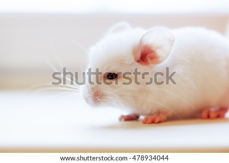 Baby chinchilla photographed close